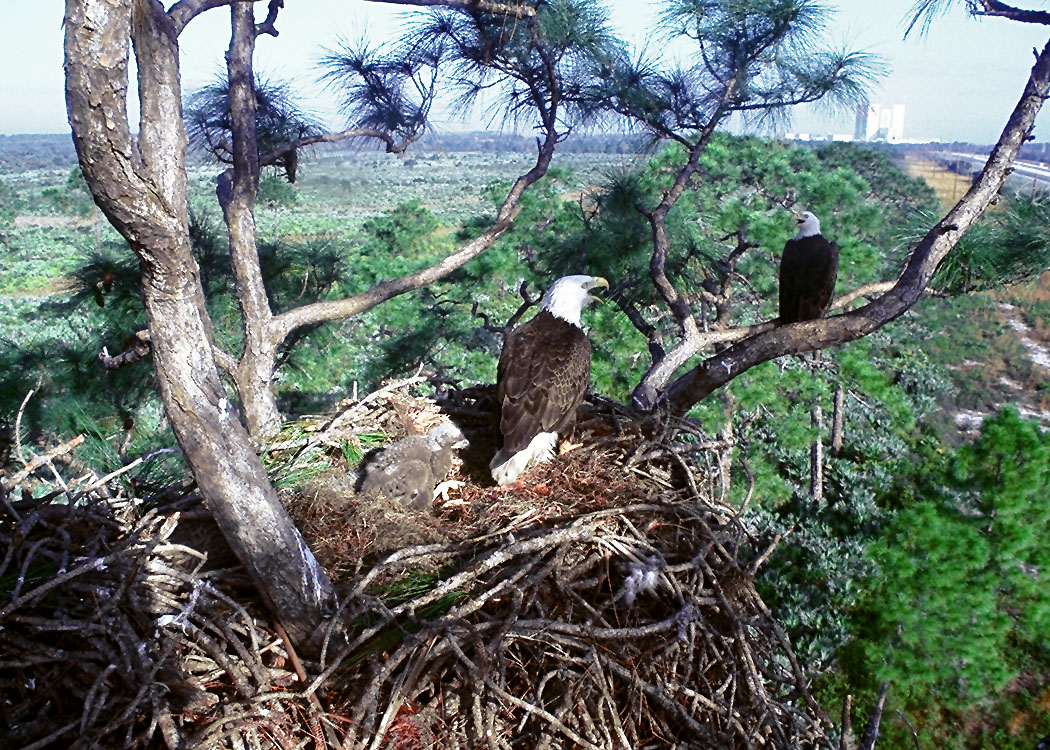 Bald Eagles Know Where They Are Loved And Protected And