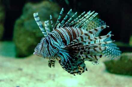 featured_lionfish